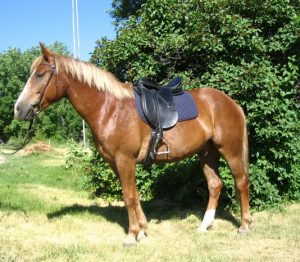 wills trusts equine law bridle saddle pad